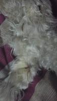 Ojos amarillos en perros, Caniche