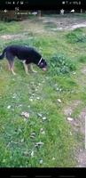 Tago, mi perro desconocida macho, tiene vómito, salivación excesiva y vómito amarillo
