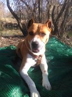 Muestra jadeo e inquietud en perros, Pit bull