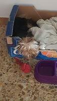 Otto, mi perro yorkshire terrier macho, tiene vómito, vómito blanco espumoso y heces o diarrea muy olorosas