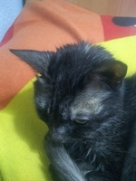 Luna, mi gato bombay hembra, tiene mal apetito, pérdida o atrofia muscular y apatía