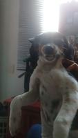 Temblores en perros, Westie