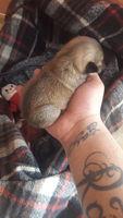Respiración ruidosa en perros, Yorkshire terrier