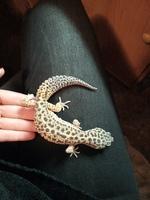 Dolor al contacto en reptiles, Gecko leopardo
