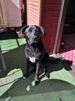 Fiebre en perros, Labrador