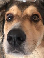 Ojos inflamados en perros, Desconocida