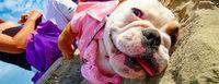 Vómito amarillo en perros, Bulldog francés