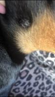 Bulto en la piel en perros, Pinscher miniatura