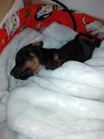Tos en perros, Pinscher miniatura