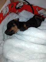 Vómito blanco espumoso en perros, Pinscher miniatura