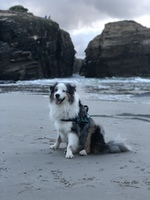 Enrojecimiento de la piel en perros, Pastor ganadero australiano