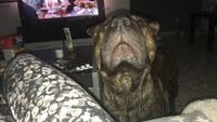 Inflamación cuello en perros, Shar Pei