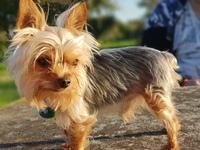 Muestra jadeo e inquietud en perros, Yorkshire terrier