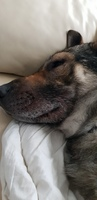 Hocico hinchado en perros, Pastor alemán