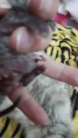 Abdomen inflamado en gatos, Persa tradicional