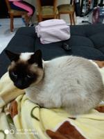 Pérdida de peso o adelgazamiento en gatos, Siamés