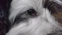 Lagrimeo verdoso o amarillento en perros, Caniche
