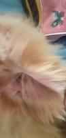 Enrojecimiento orejas en perros, Pequeño perro león