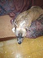 Mareo en perros, Airedale terrier