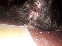 Titi, mi gato americano de pelo corto hembra, tiene orina muy poco y sangre en orina