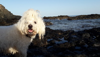 Ladra en perros, Bichon maltés