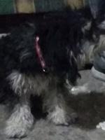 Respiración ruidosa en perros, Bichón frisé