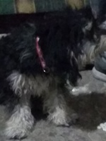 Doris, mi perro cruce de bichón frisé hembra, tiene respiración acelerada, respiración ruidosa y vómito