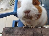 Coco, mi roedor cobaya hembra, tiene ojos entrecerrados, diarrea y vómito