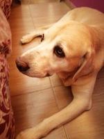Goteo de orina en perros, Labrador