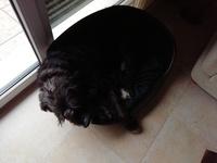 Cansancio o fatiga en perros, Schnauzer gigante