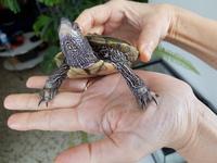 Heridas en reptiles, Tortuga