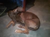 Desánimo, decaído, triste, depresión en perros, Dobermann