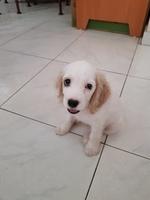 Pérdida de peso o adelgazamiento en perros, Cocker spaniel americano