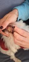 Encías inflamadas en perros, Bichon maltés