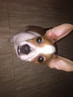 Tyger, mi perro cruce de chihuahueño macho, tiene mal olor en la oreja y enrojecimiento de la piel