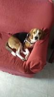 Flemas en perros, Beagle