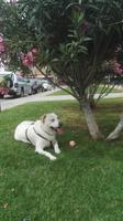 Junior, mi perro labrador macho, tiene cojera y desánimo, decaído, triste, depresión