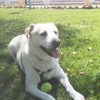 Desánimo, decaído, triste, depresión en perros, Labrador