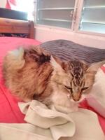 Vómito en gatos, Persa tradicional