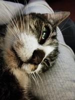 Gordo, mi gato europeo de pelo corto macho, tiene mal apetito, úlcera en la boca y crecimiento anormal de las uñas