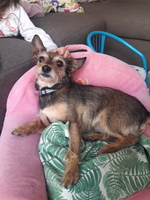 Dificultad al caminar o levantarse en perros, Yorkshire terrier