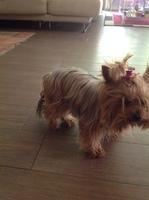 Dificultad para mover las patas traseras en perros, Yorkshire terrier