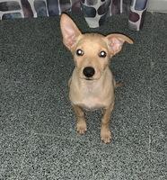 Destruye cosas en ausencia del propietario en perros, Podenco ibicenco