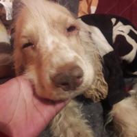 Estornudos en perros, Cocker spaniel inglés