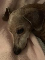Mia, mi perro dachshund hembra, tiene mal aliento, sangre en la boca y encías inflamadas