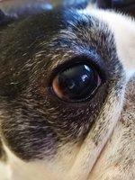 Nubes o película transparente blanca en los ojos en perros, Bulldog francés
