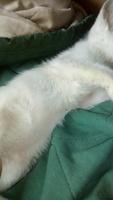 Dolor al contacto en gatos, Americano de pelo corto