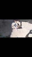 Dificultad al caminar o levantarse en perros, Spaniel bretón