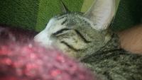 Michu, mi gato cruce de burmilla macho, tiene orina en casa y lame mucho sus genitales