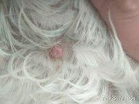 Alfil, mi perro cruce de shih tzu macho, tiene sarpullidos, erupciones en la piel y úlceras en la piel